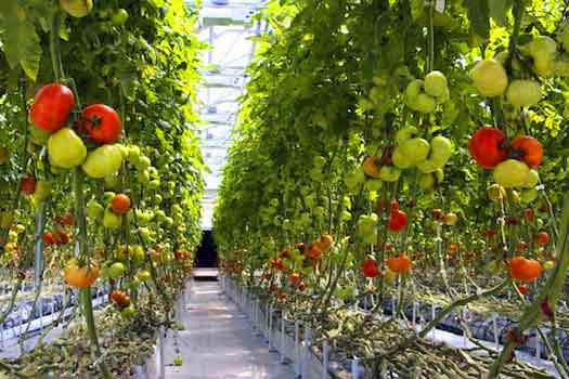 Tomato Cropping